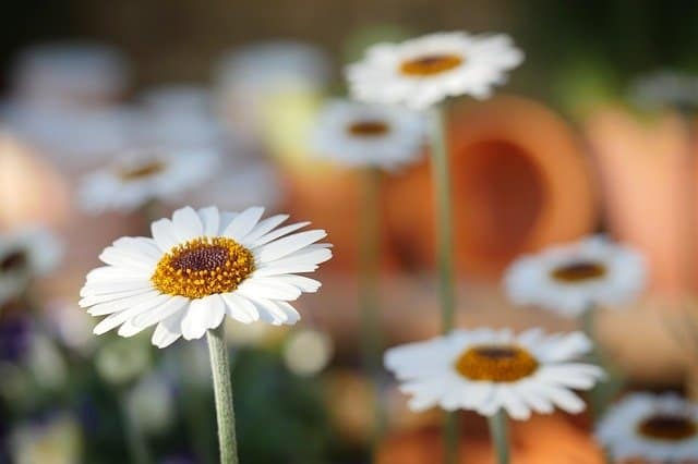 macro photo of daisies