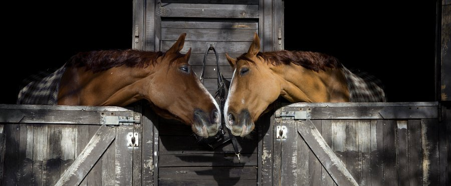 horses touching noses