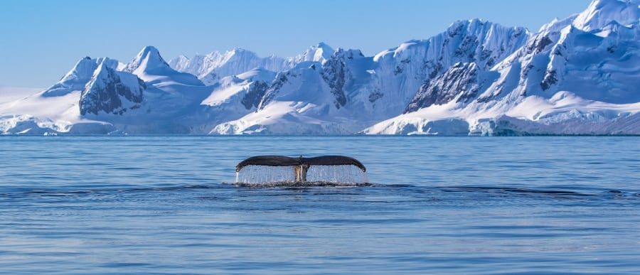humpback whale tale in antartic