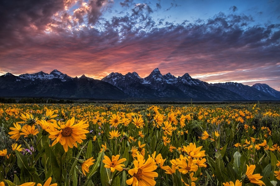 yellow wildflowers in foreground mountain in background