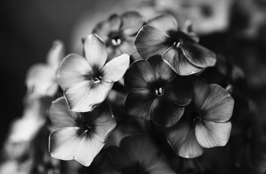 black and white photo of flower petals