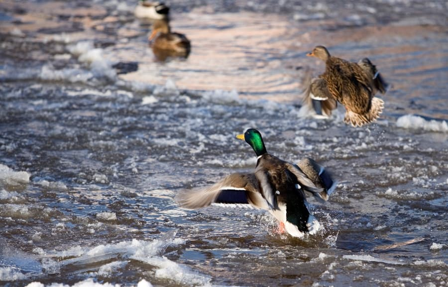 ducks flying out of water