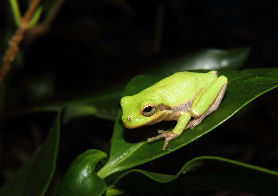 green tree frog on leaf in forest