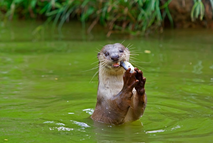 otter in river eating a fish