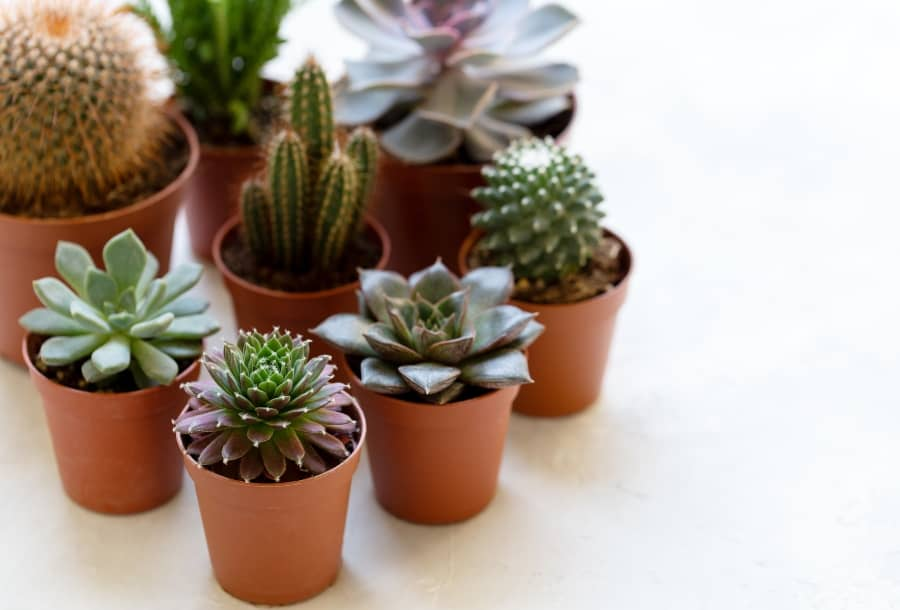 succulents and cactus